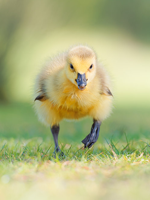 Fluffy Waterfowl