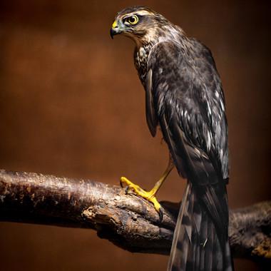 Sparrowhawk Injured Sept 9th.jpg