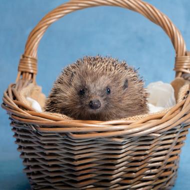 Hedgehog adult in basket PACT Oct 2018.j
