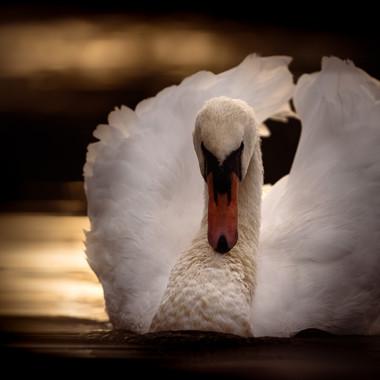 Cowled Swan Wide Crop_.jpg