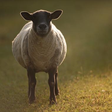 Sheep Sunset at PACT.jpg
