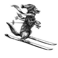 Labrador skiing