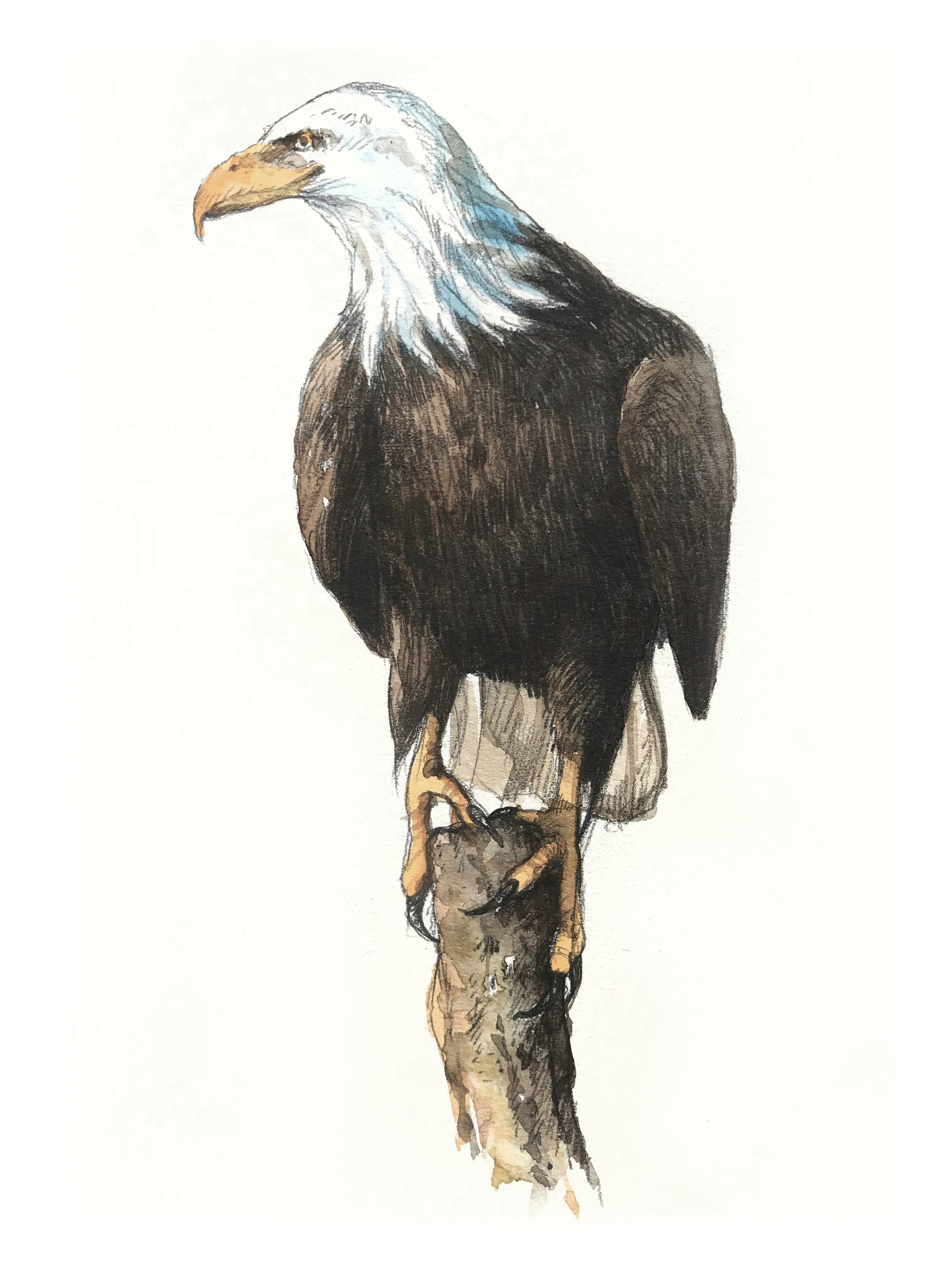 Glenbow Ranch_bald eagle_