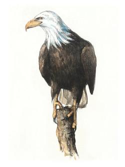 Glenbow Ranch_bald eagle_