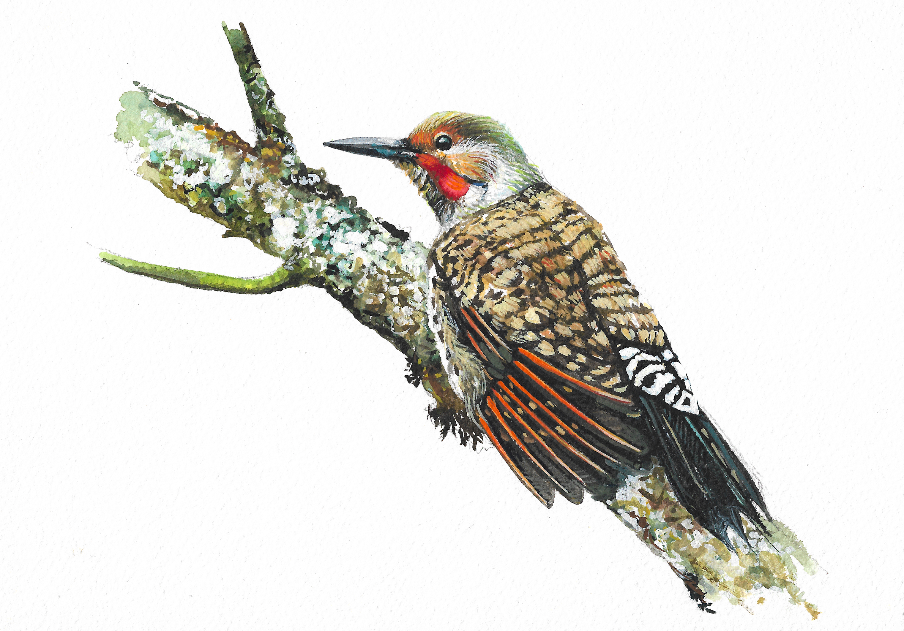 """Northern Flicker"""