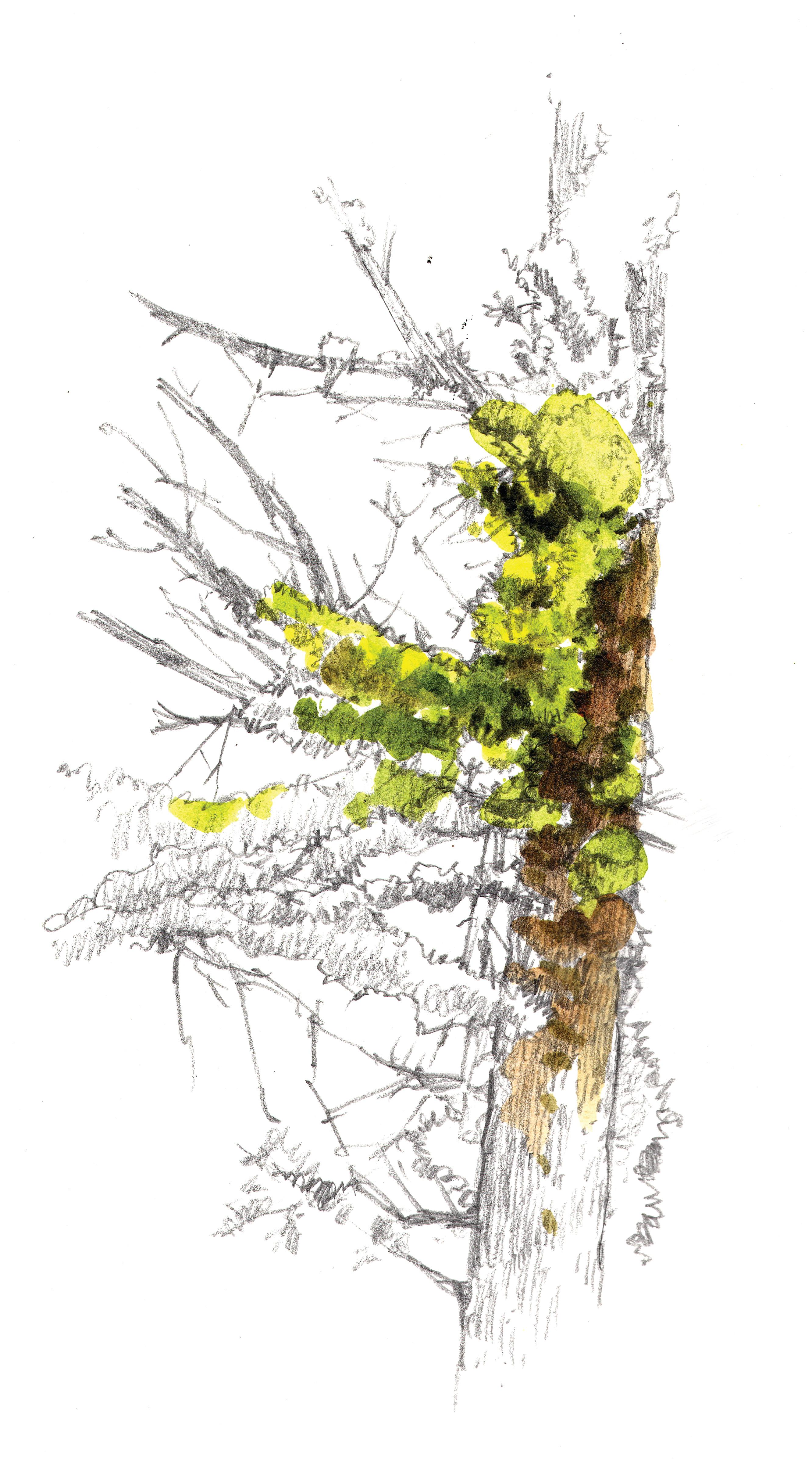 """""""Whitebark Pine Lichen"""""""