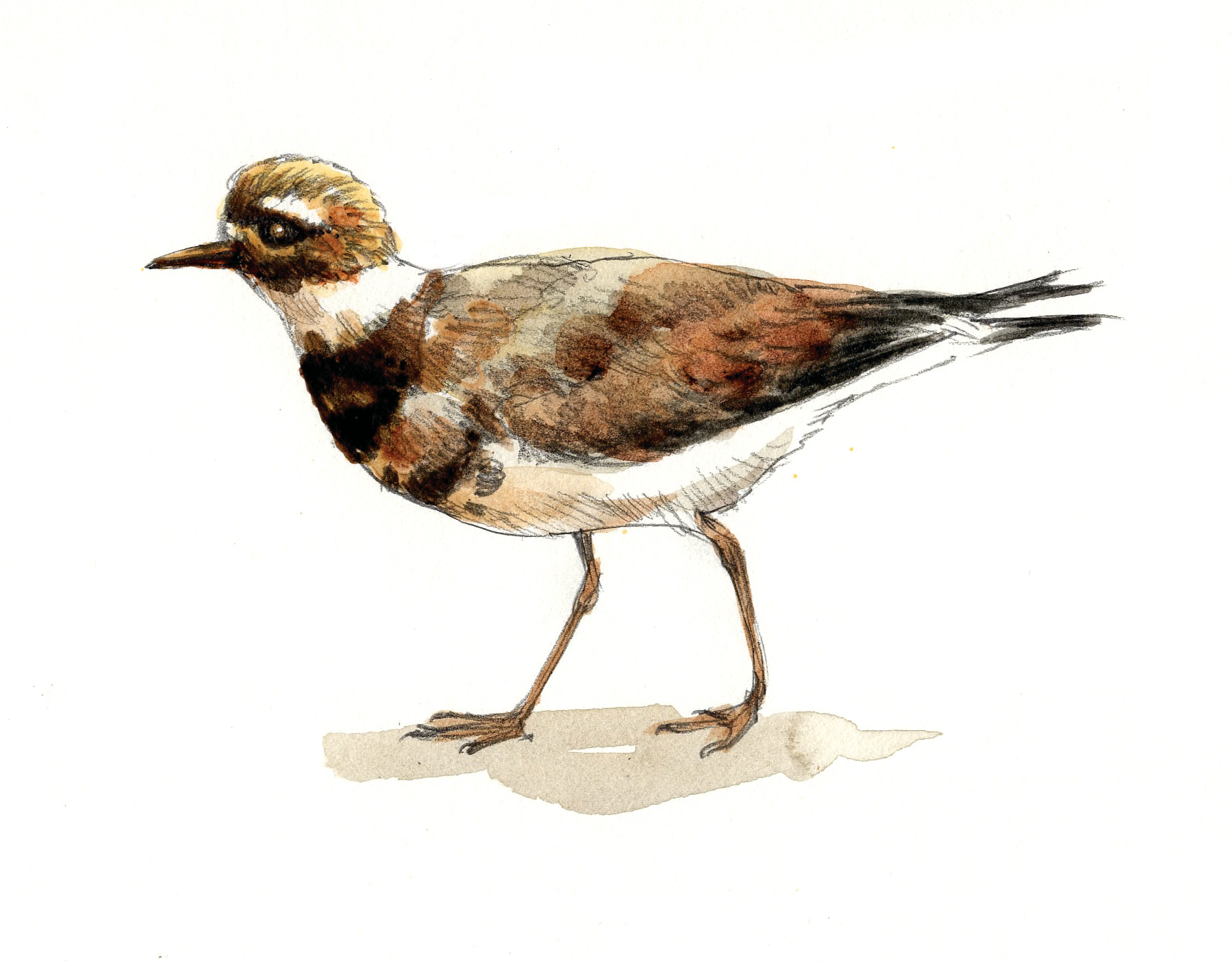 """Killdeer"""