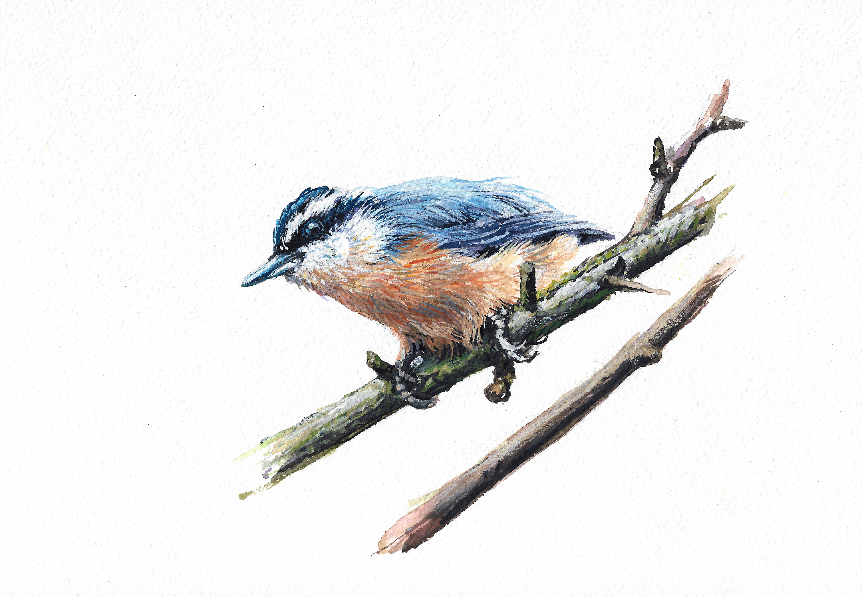 """Red Breasted Nuthatch"""
