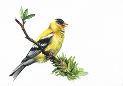 """American Goldfinch"""