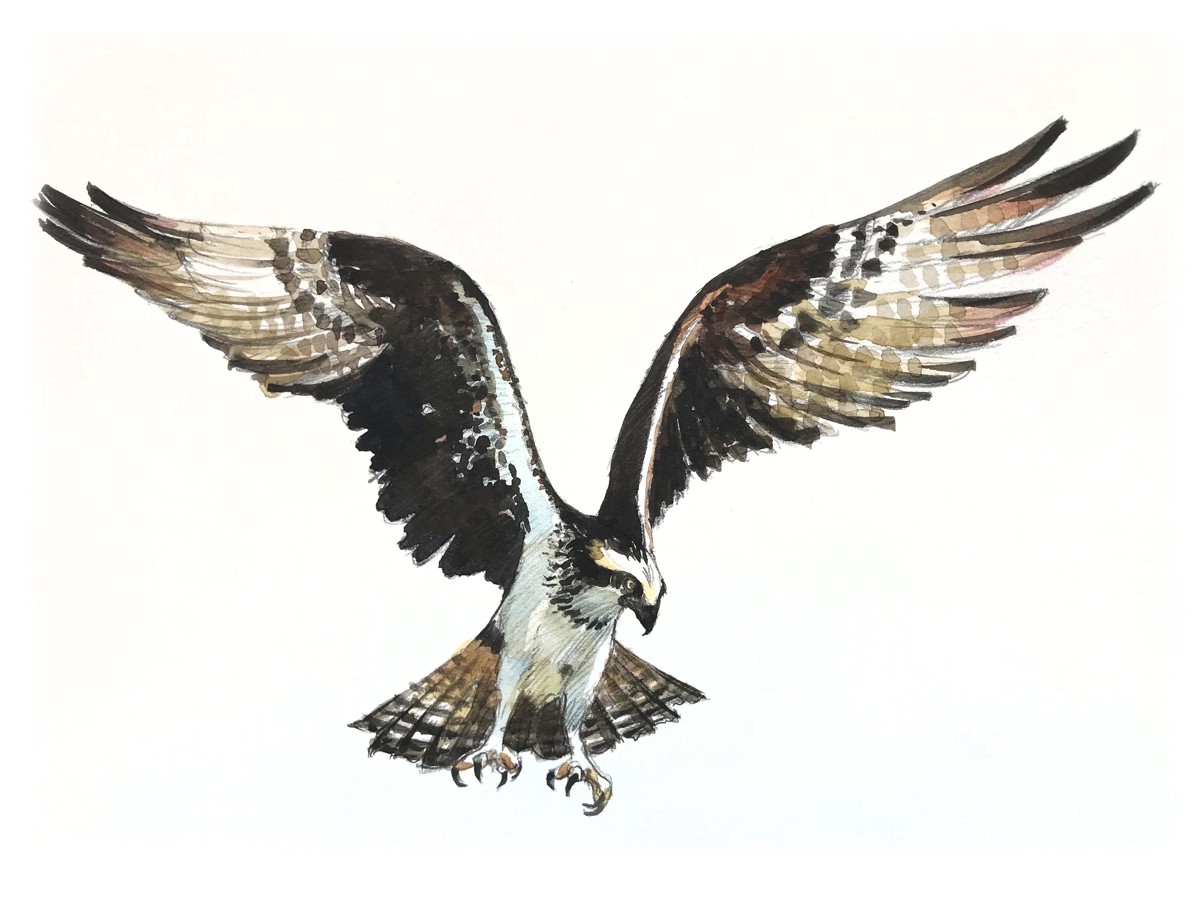 Glenbow Ranch_osprey_
