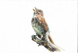 """""""Song Sparrow"""""""