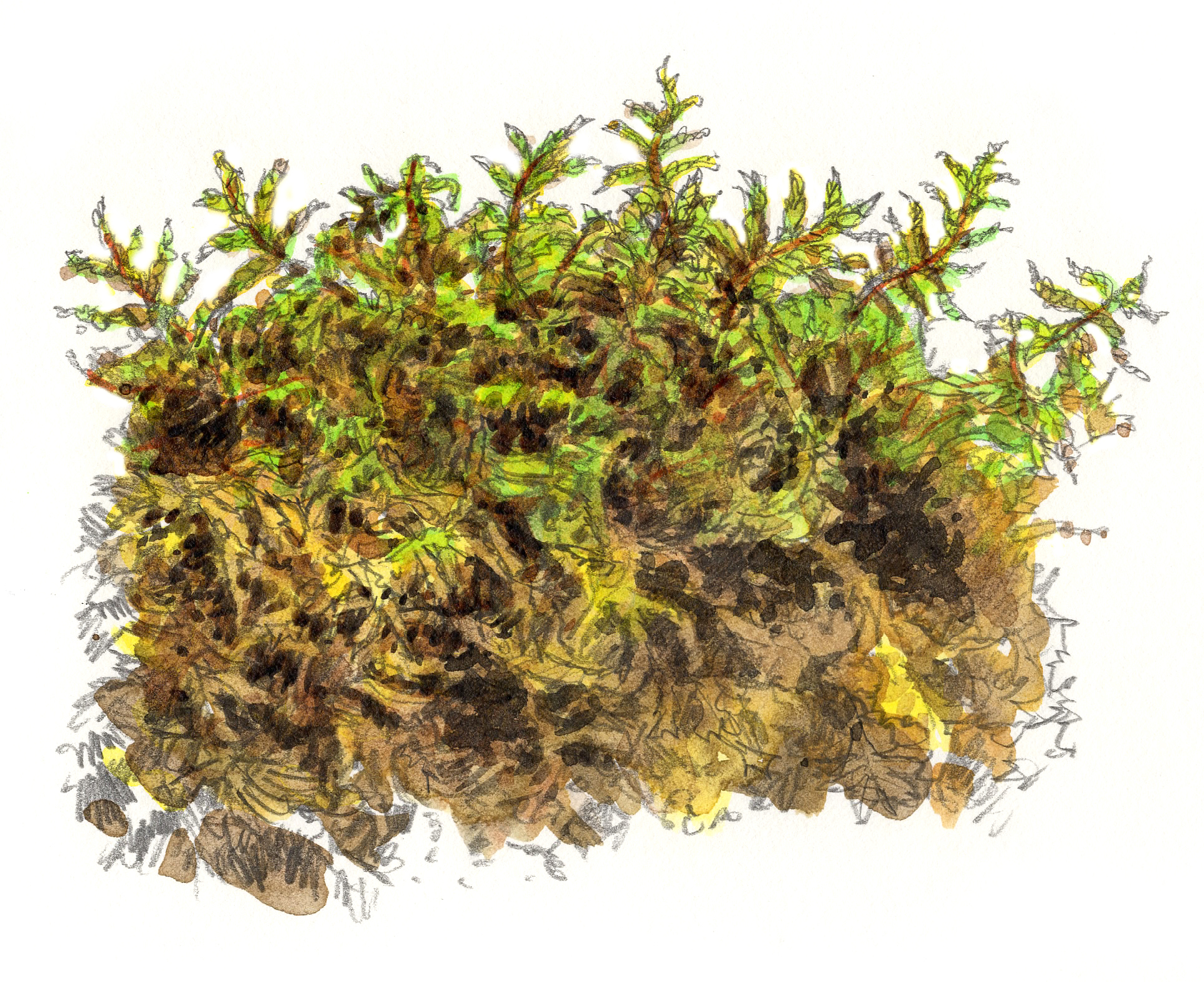 """Golden Ragged Moss"""
