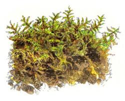 """""""Golden Ragged Moss"""""""