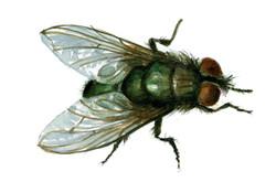"""Bird Blowfly"""