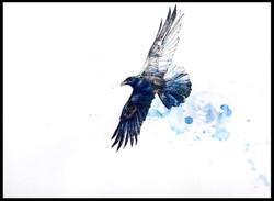 """""""Prairie Mountain Raven"""""""