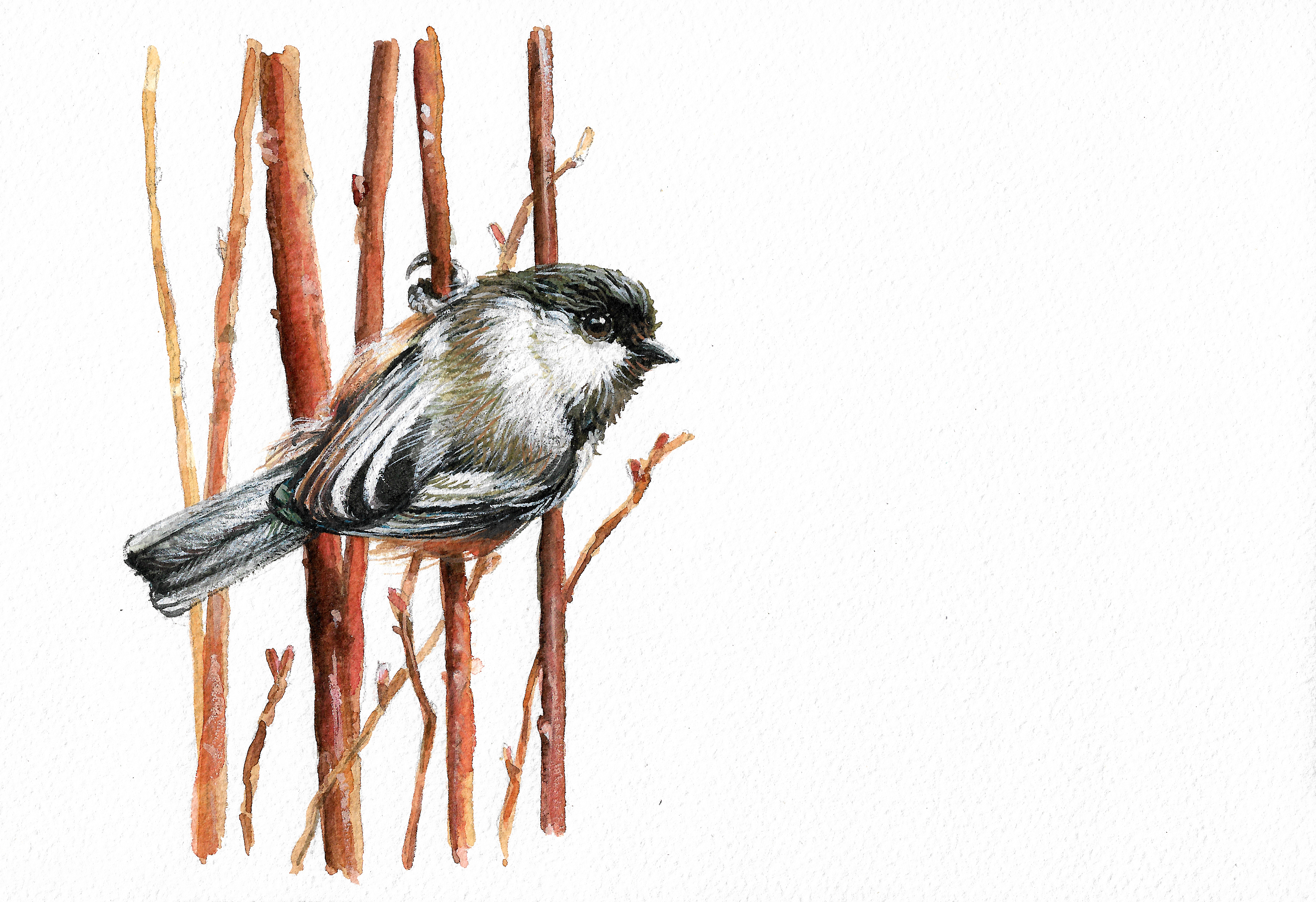 """Chestnut Backed Chickadee"""