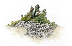 """""""Whitebark Pine"""""""