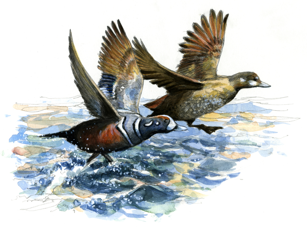"""Harlequin Ducks"""