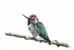 """Anna's Hummingbird"""