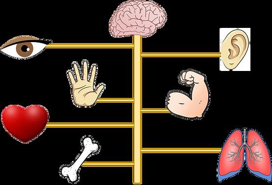 sistema nervoso e apparati.png