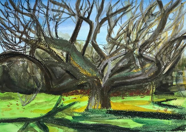West Tisbury Cherry Tree, April