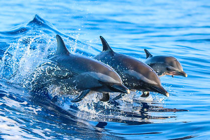 A spotted dolphin family leaping out of