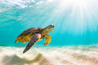Endangered Hawaiian Green Sea Turtle Cru