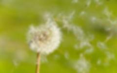 Dandelion-.jpg