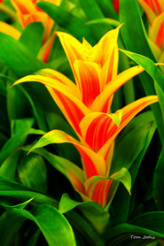 Yellow_Red_Flower