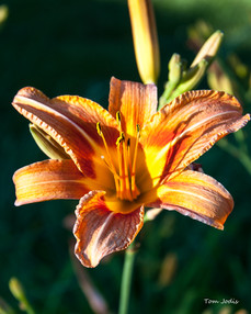 Tiger_Lilly @Sunset
