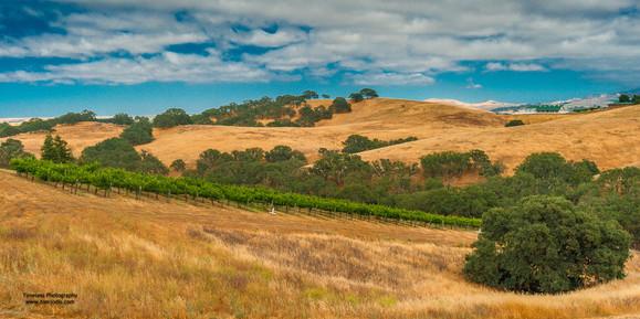 Vineyards on the Hillside
