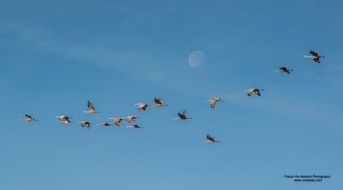Cranes & Moon