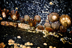 Limpets on the rockpool