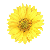 sunflower1_noBG.png