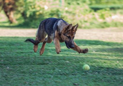 German Shepherd puppies for sale in Tennessee
