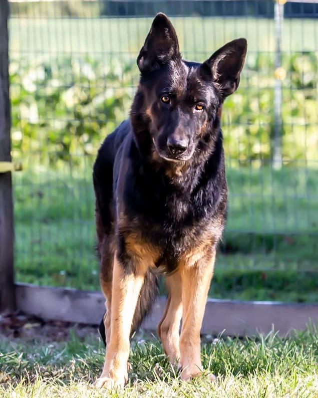 Reba~ German Shepherd Female