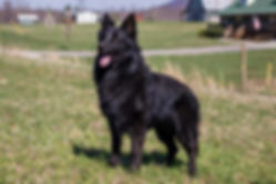 German Shepherd breeders in Tennessee