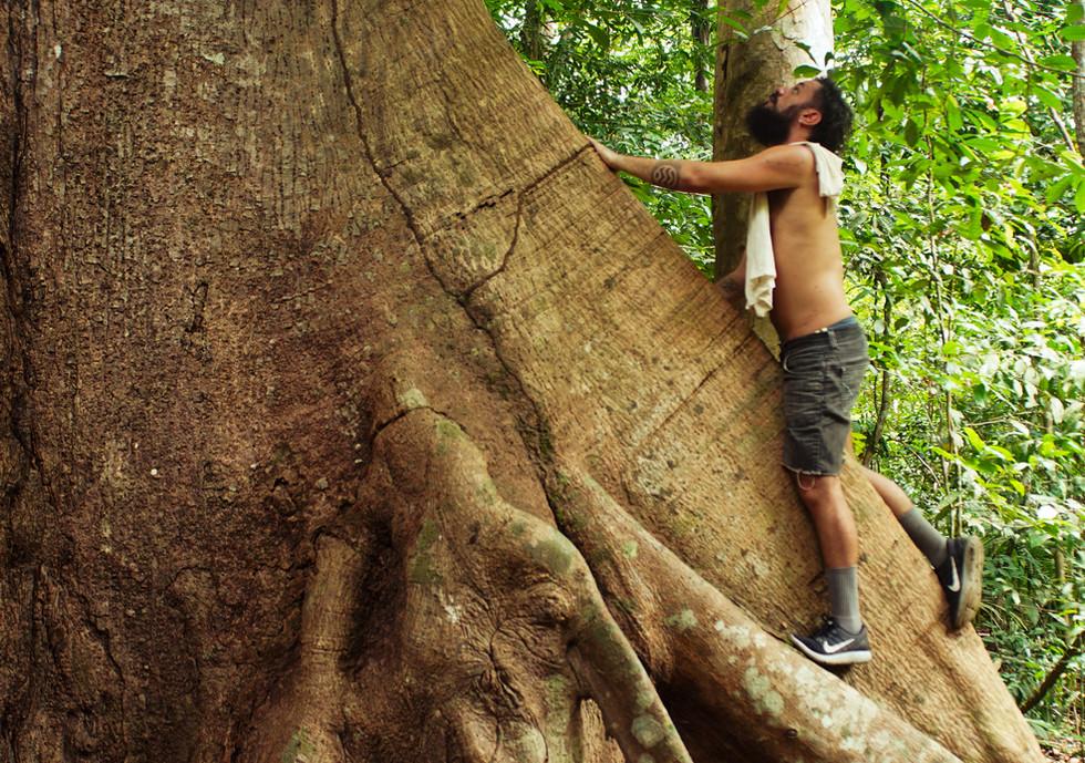 a árvore gigante, a Samaúma.