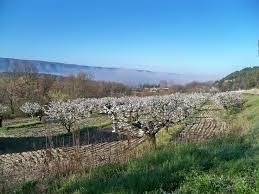 cerisiers luberon