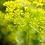 Thumbnail: Dill Seeds