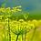 Thumbnail: Fennel Seeds