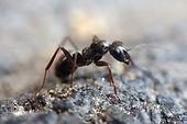 μυρμήγκια, απεντόμωση, απολύμανση, φωλιά, μυρμηγκιών, πρόβλημα, σπίτι, κατοικία, κουζίνα