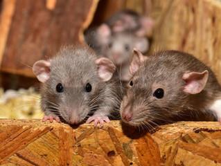 Που φωλιάζουν τα ποντίκια τον χειμώνα.