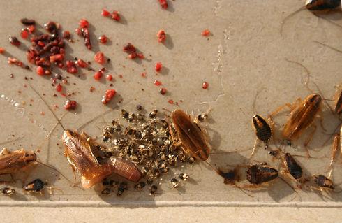 baby cockroach.jpg