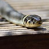 φίδια, οχιές, απώθηση, ερπετών, ξενοδοχεία, εξοχικό, κατοικία, φιδαπώθηση, δηλητήριο, τσίμπημα,