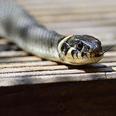 grass-snake-379025.jpg