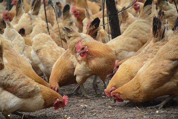 απεντόμωση - απολύμανση -μυοκτονία πτηνοτροφικών - κτηνοτροφικών μονάδων, εκτροφείων θεσσαλονίκη - βόρεια ελλάδα