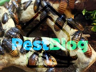 Παρθενογένεση στις κατσαρίδες.