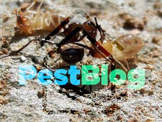 Οι γηραιότεροι τερμίτες στην πρώτη γραμμή της μάχης με τα μυρμήγκια.