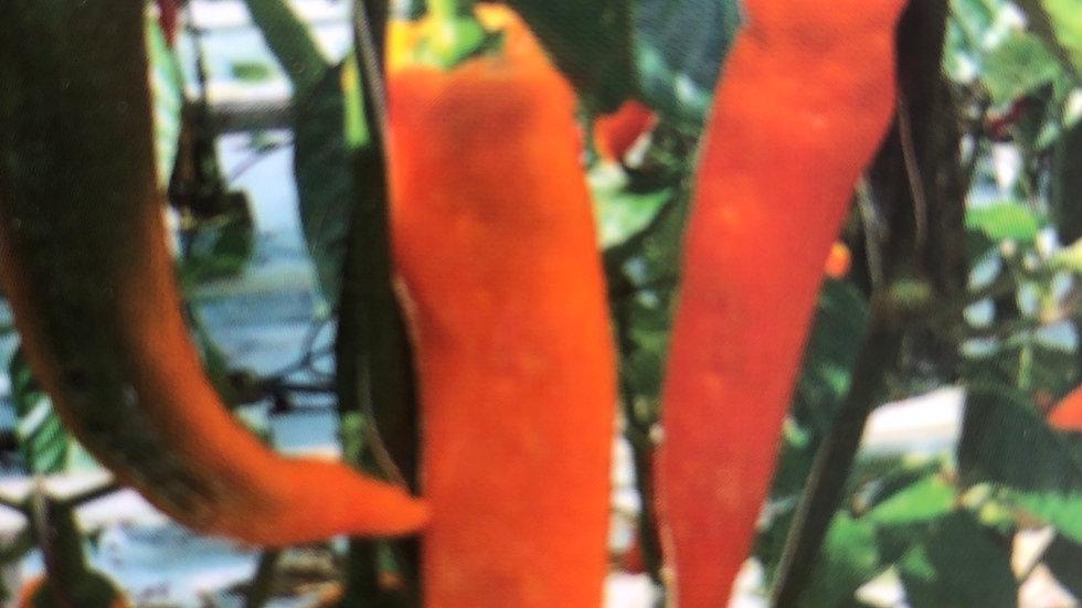 POIVRON coronor Orange